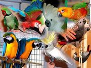 Ручные попугаи в ассортименте. Широкий ценовой диапазон